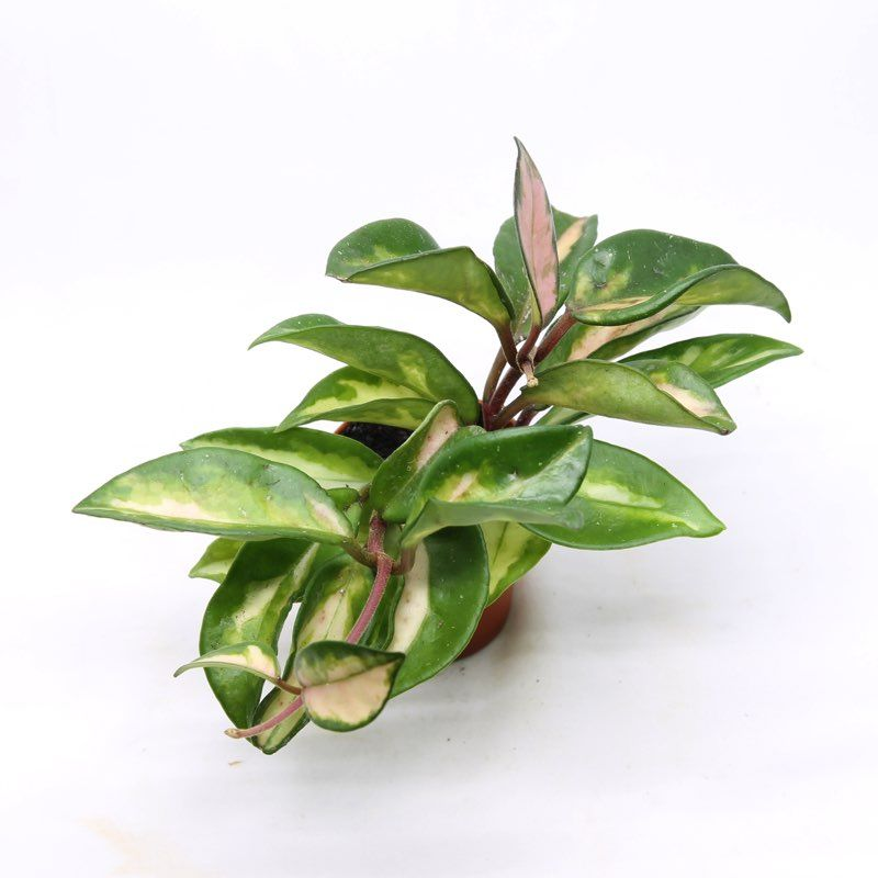 Hoya carnosa tricolor fleur de porcelaine