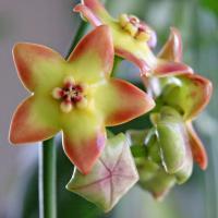 Hoya cv ruthie