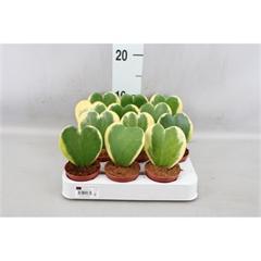 Hoya kerrii panaché (6cm)