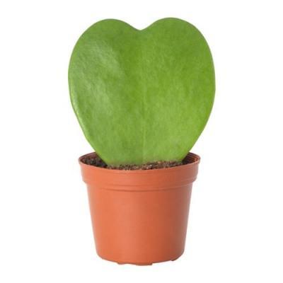 Hoya Kerri Heart