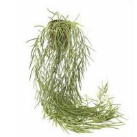 Hoya retusa pot