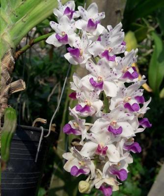 Orchid Rhynchostylis gigantea X Rhy retusa spot