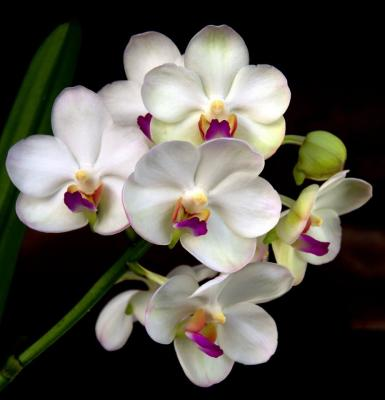 Orhidee Aerdv. Supatra Delight