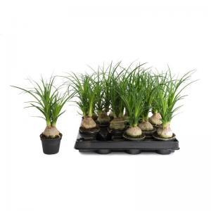 I grande 14482 mini nolina recurvata d06 plante a codex beaucarnea net