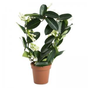 I grande 15730 stephanotis floribunda d12 p x10 9 10 jasmin de madagascar net