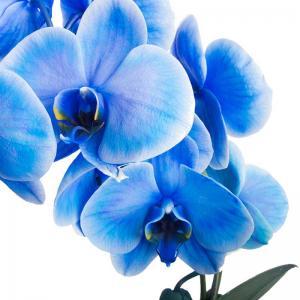 I grande 16895 phalaenopsis hybride d12 x4 bleu arceau net