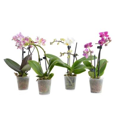 Orchid Phalaenopsis Mini 2 Branches