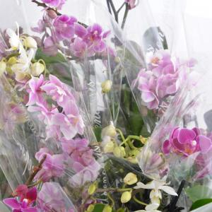 I grande 18562 mini phalaenopsis hyb d06 x12 2br net
