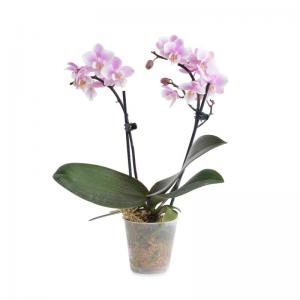 I grande 18563 mini phalaenopsis hyb d06 x12 2br net