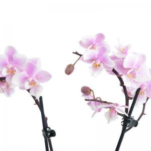 I grande 18564 mini phalaenopsis hyb d06 x12 2br net