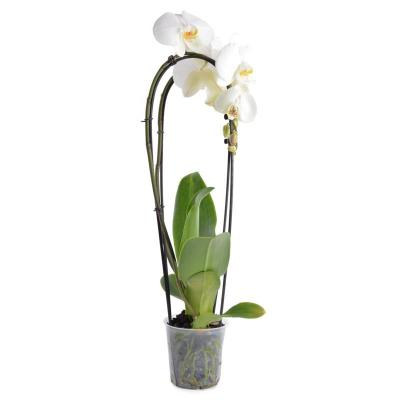 Orchid Phalaenopsis 1 white branch Cascade