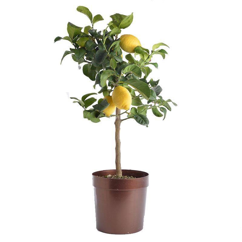 I grande 18711 citrus limon d20 70 80cm citronnier net