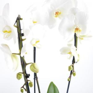 I grande 20289 phalaenopsis hybride d15 2br p x5 cascade opti 80 90cm net