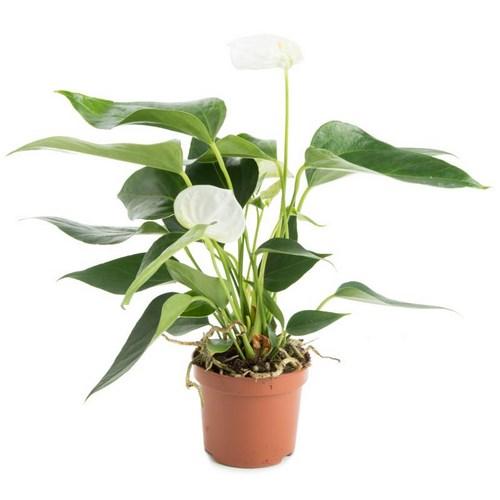 I grande 2590 anthurium andreanum d09 p x12 blanc langue de feu net