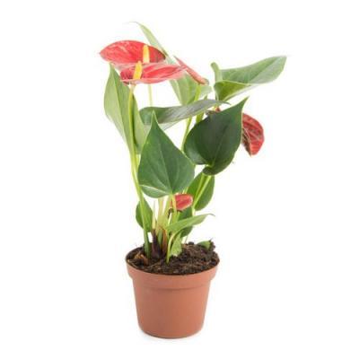 Anthurium andreanum red
