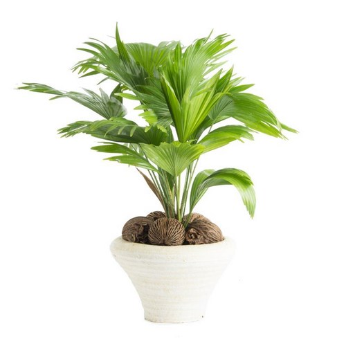 I grande 3692 livistona rotundifolia d22d p pot deco cocos palmier net