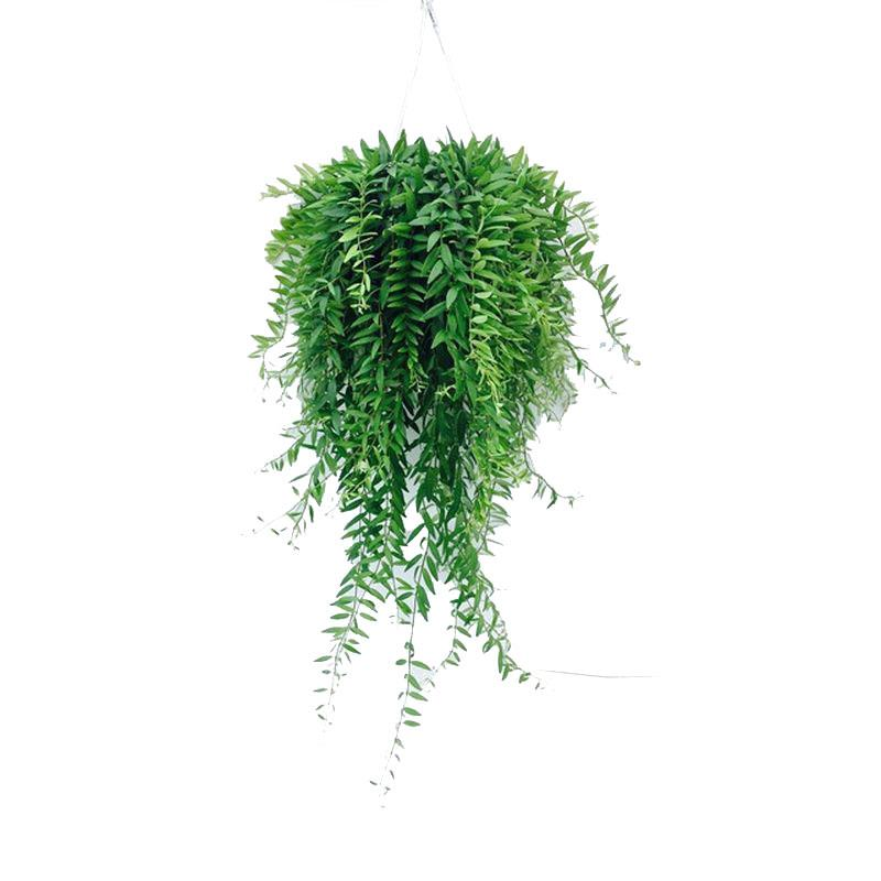 I grande 4270 aeschynanthus japhrolepis d14 x8 suspension net
