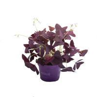 I grande 4340 oxalis triangularis d10 11 x8 purpurea trefle feuille net