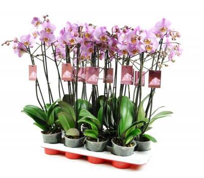 I grande 46238 phalaenopsis 2br rose net