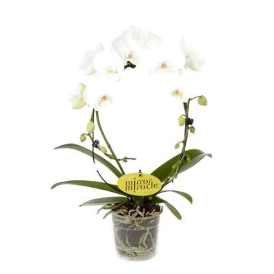 Orhidee Phalaenopsis arceau white