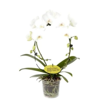 Orquídea Phalaenopsis arceau white