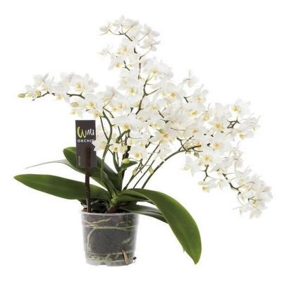 Orchid Phalaenopsis 6 branches mf blanc wild