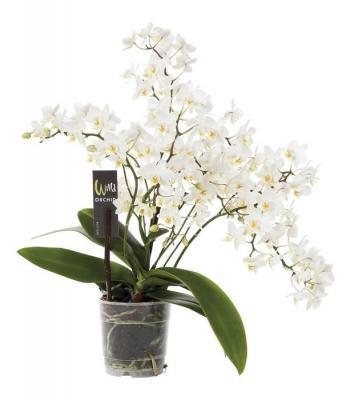 Orquídea Phalaenopsis 4 ramas mf blanc wild