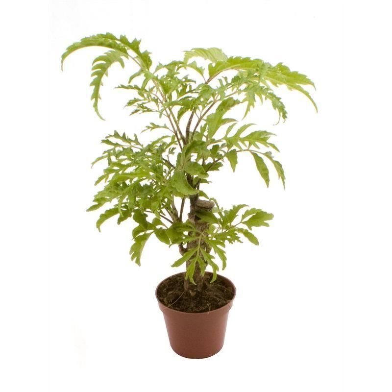 I grande 5863 mini polyscias filicifolia d06 x12 tige feuille fine net