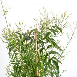 I grande 6681 jasminum polyanthum d17 p pyramide 70cm net