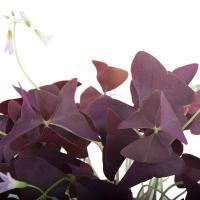 I grande 7682 oxalis triangularis d10 11 x8 purpurea trefle feuille net