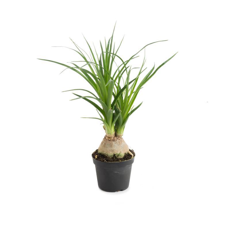 I grande 9371 mini nolina recurvata d06 plante a codex beaucarnea net