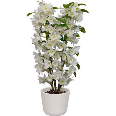 Orchidea Dendrobium Nobile Apollon blanc