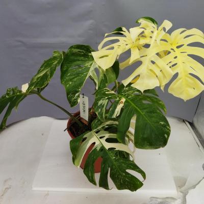 Monstera deliciosa variegata (26 cm)
