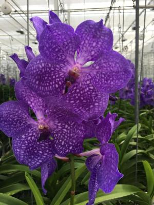 Orchidée Vanda Dark Blue