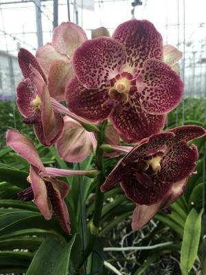 Orchidea Vanda Retro Red