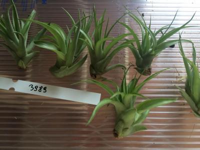Tillandsia geminiflora