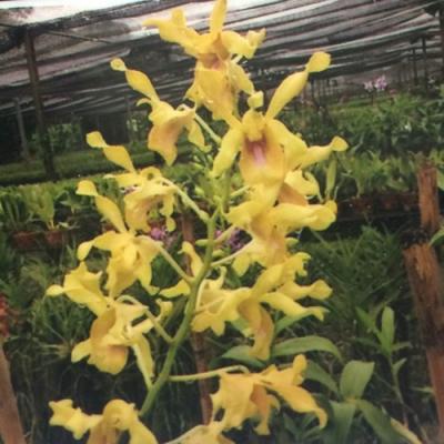 Orquídea Dendrobium antelope Burana royal x Lasianthera