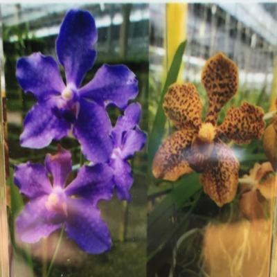 Orhidee Vanda Pakchong blue X V tessellata