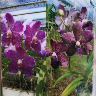 Orchidea Vanda scarlet X V. tessellata