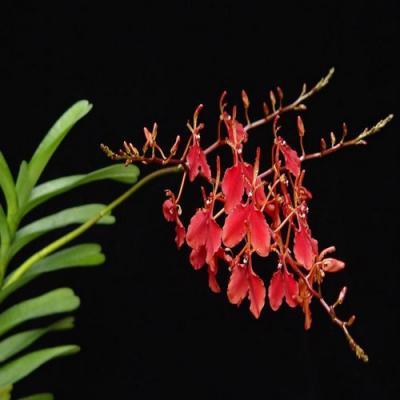 Orchidée Renanthera imschootiana