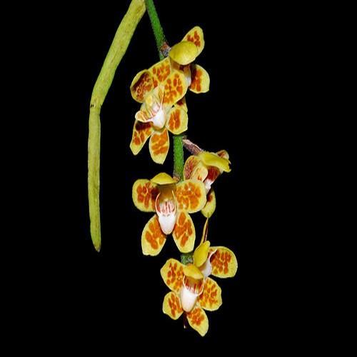 Orquídea Chilochista usnoides 'indien'