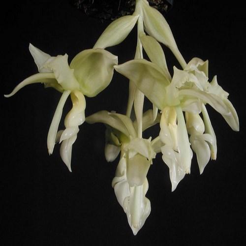 Inodora orchidee
