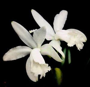 Orchidea Cattleya intermedia alba