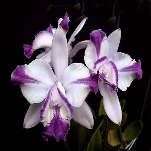 Orquídea Cattleya intermedia aquinii coerulea