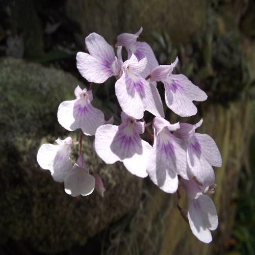 Ionopsis utricularioides 3