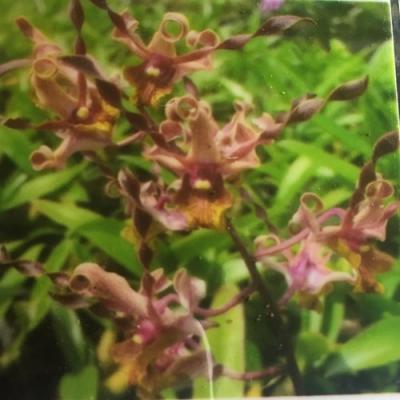 Orchidea Dendrobium jairak Firehorn Browny