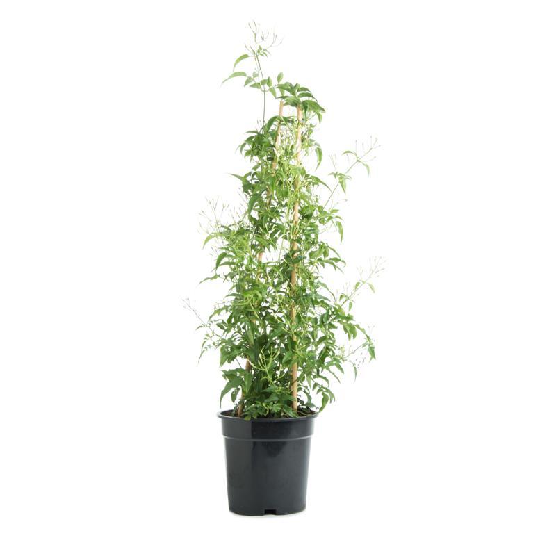 Jasminum polyanthum jasmin d hiver a vendre