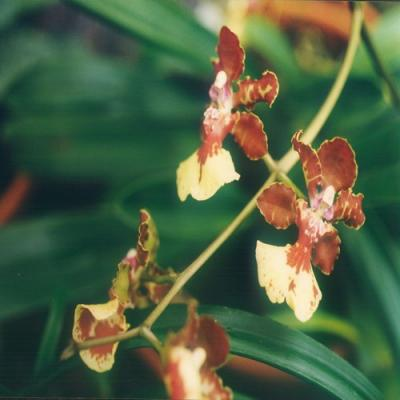 Orchidee Oncidium johnii
