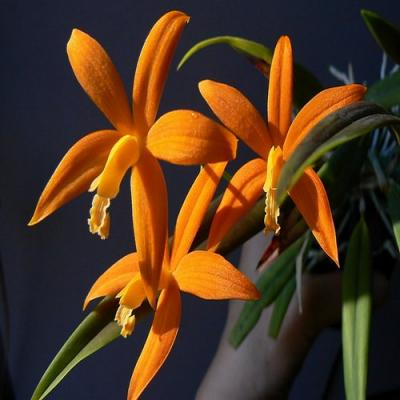 Orhidee Laelia kautskyana