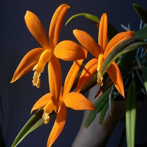 Orquídea Laelia kautskyana